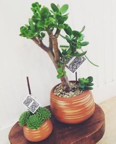 succulents terracotta